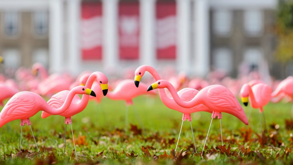 Plastic lawn flamingos on Bascom Hill
