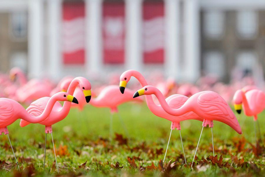 Plastic lawn flamingos on Bascom Hill