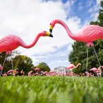 """Hundreds of plastic pink flamingos adorn Bascom Hill at the University of Wisconsin-Madison as part of the annual """"Fill the Hill"""" event, held this autumn on Oct. 17, 2018. The event, which is part of the UW's 2018 Annual Campaign, places a pink flamingo on Bascom Hill for each donation received that day. (Photo by Jeff Miller / UW-Madison)"""